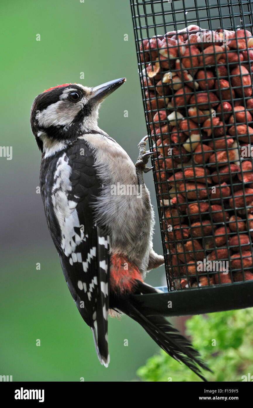 birdfeeder great spotted woodpecker stockfotos. Black Bedroom Furniture Sets. Home Design Ideas