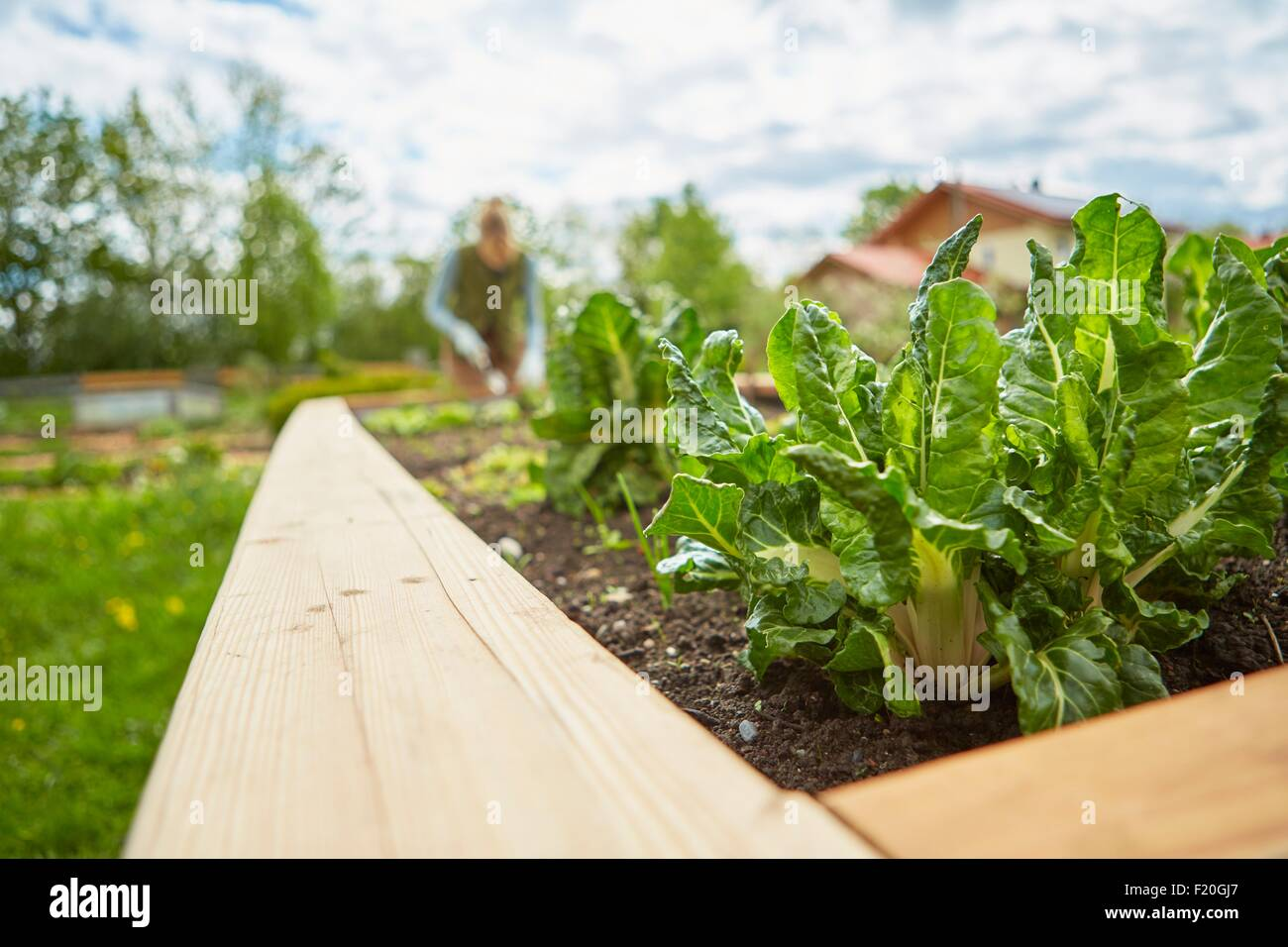 Reife Frau, im Freien, Gartenarbeit, Pflanzen im Fokus Stockbild