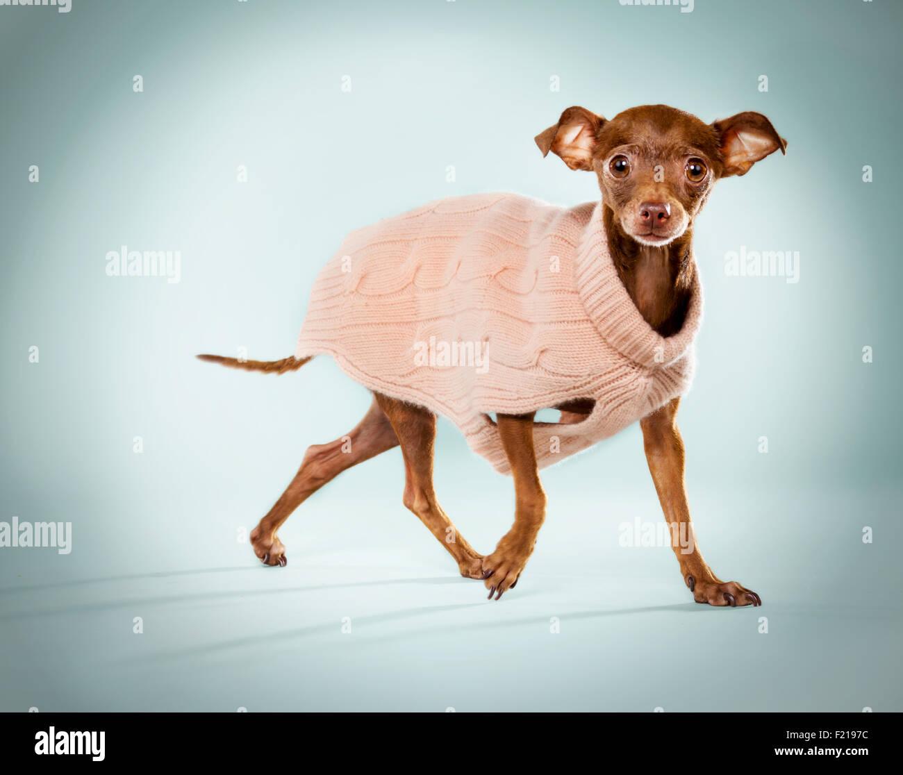 Ingwer-Chihuahua in einem rosa Pullover auf Studio-Kulisse. Stockbild