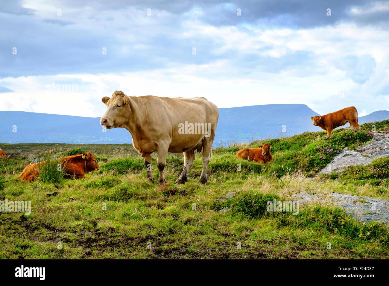 Jersey Kuh Rinder Kalb Kälber Irland Vereinigtes Königreich Stockbild