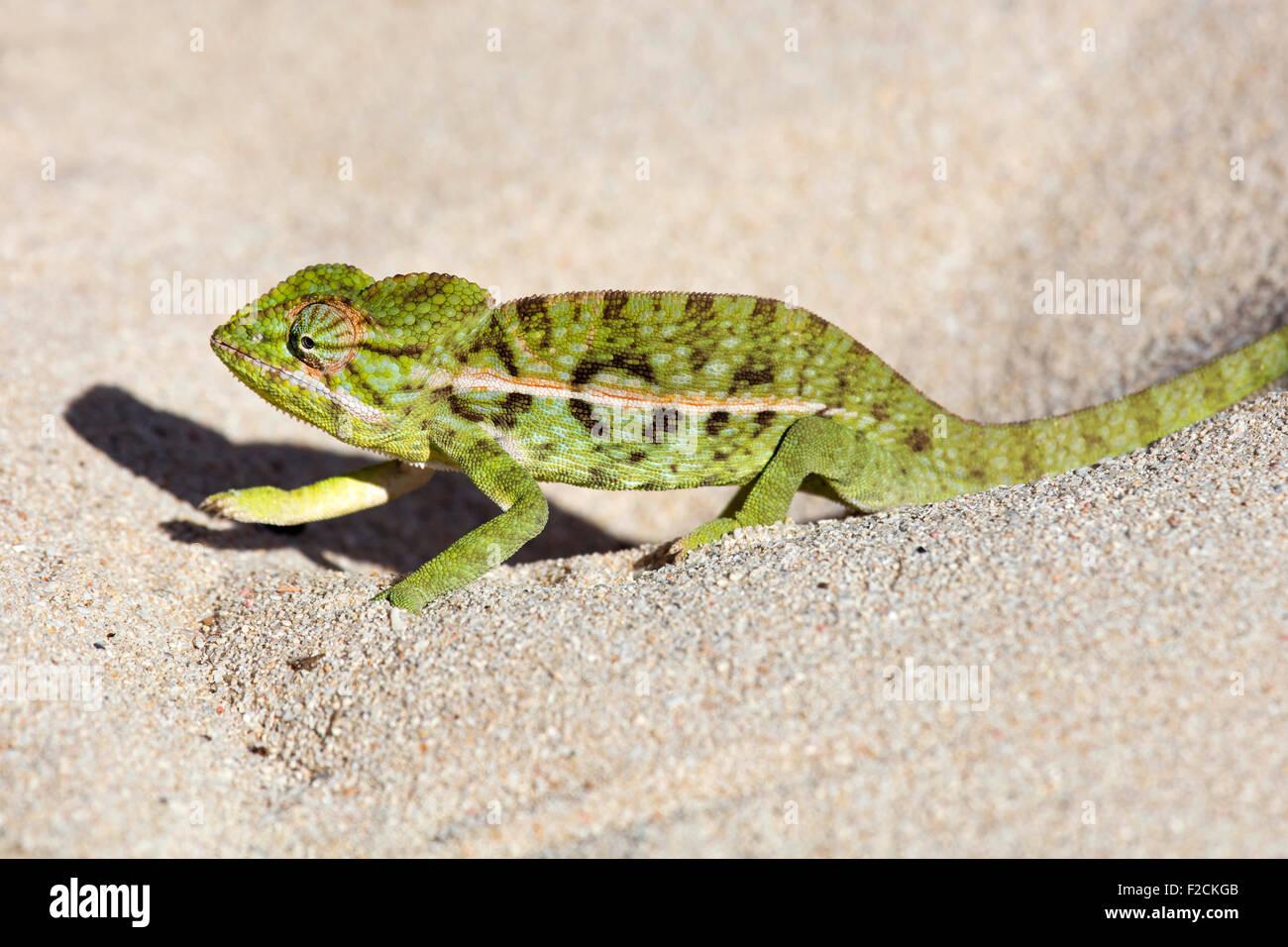 Teppich Chamäleon / weiß gesäumten Chamäleon (Furcifer Lateralis) Wandern in den Sand, Anakao Stockbild