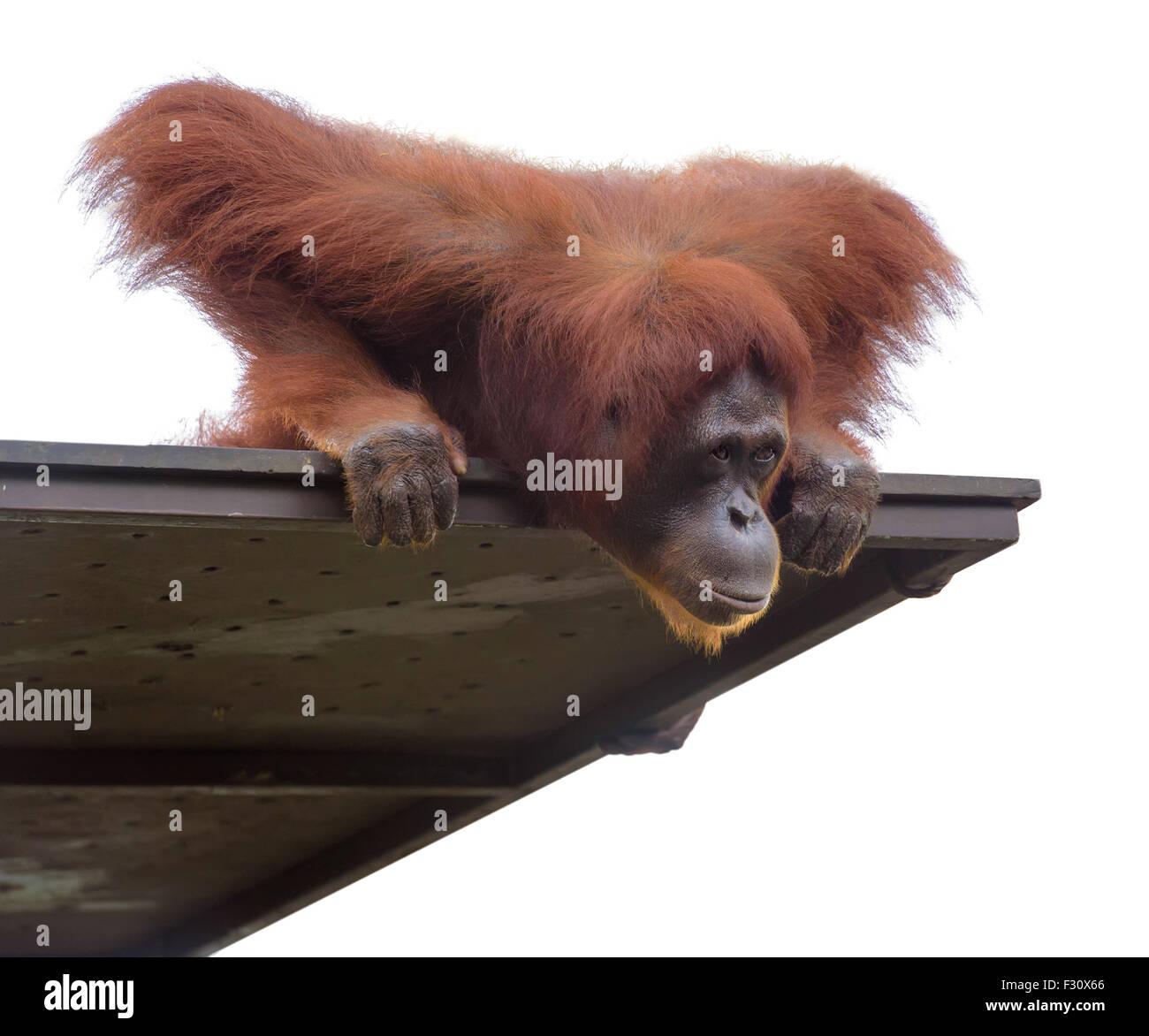 Erwachsener Orang-Utan blickte von seiner Plattform, isoliert auf weiss Stockbild