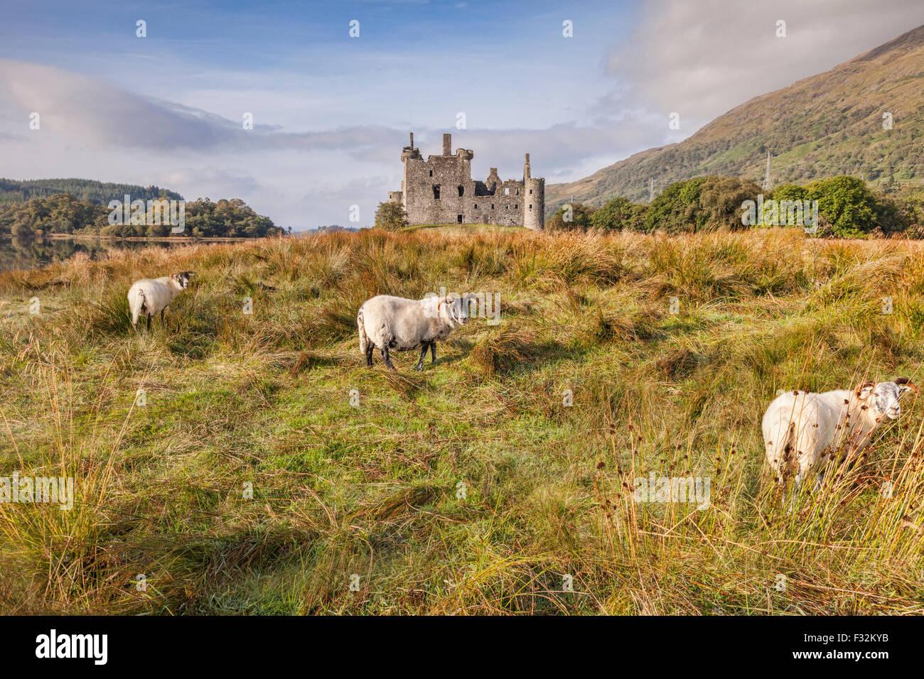 Scottish Blackface Rams in Kilchurn Castle, Argyll and Bute, Scotland, UK. Stockbild