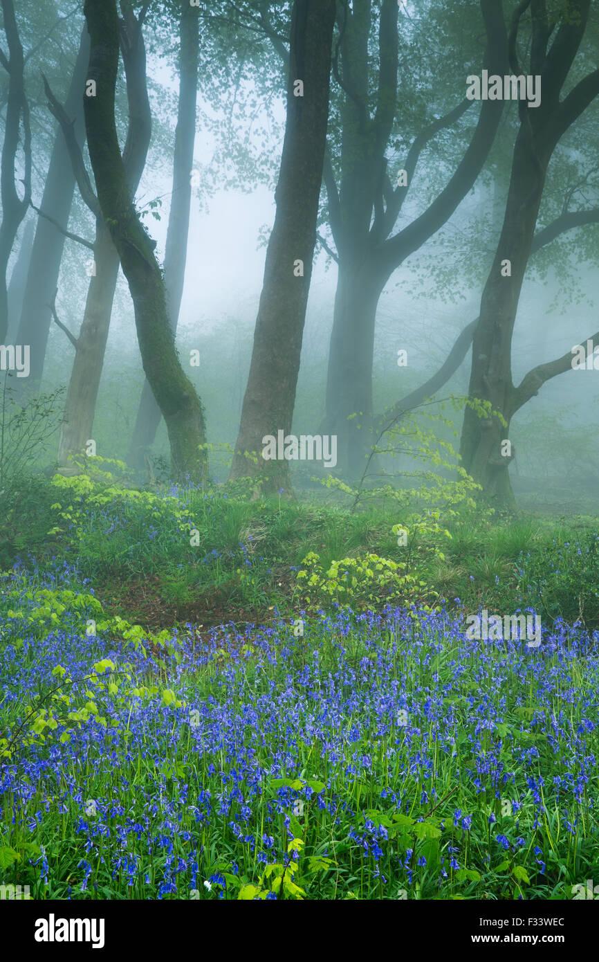 Glockenblumen in den nebligen Wäldern in der Nähe von Minterne Magna bei Dämmerung, Dorset, England, Stockbild