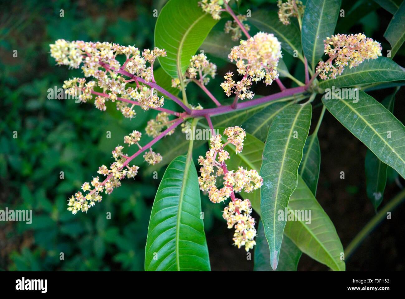Mangobaum; Lateinischen Namen Mangifera indica Stockbild