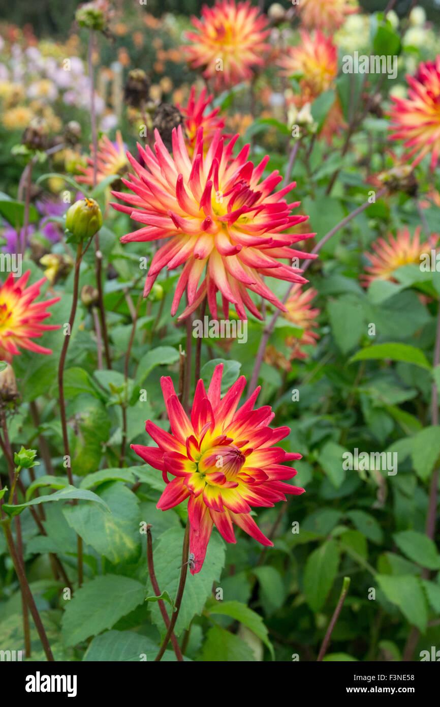 Penzance, Cornwall, UK. 10. Oktober 2015. Dahlien noch in Blüte bei der nationalen Dahlia-Sammlung im Varfell Stockbild