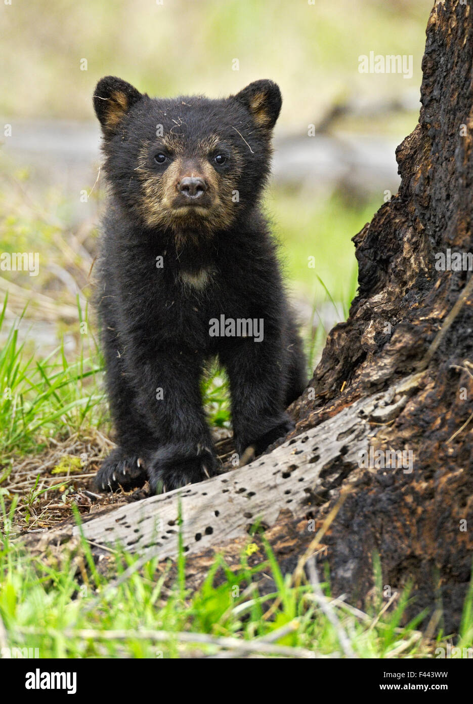 Amerikanische Schwarzbären (Ursus Americanus) Cub. Yellowstone-Nationalpark, Wyoming, Juni. Stockbild