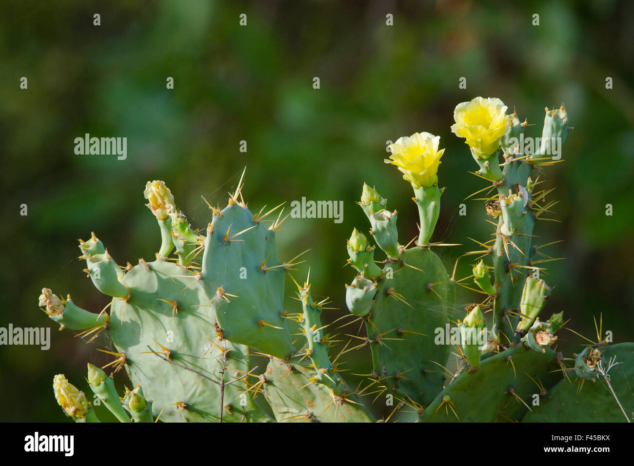 cactus fig stockfotos cactus fig bilder alamy. Black Bedroom Furniture Sets. Home Design Ideas