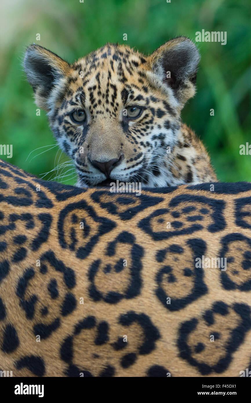 Jaguar (Panthera Onca) Cub mit Blick auf seine Mutter zurück, gefangen, kommt in Süd- und Mittelamerika. Stockbild