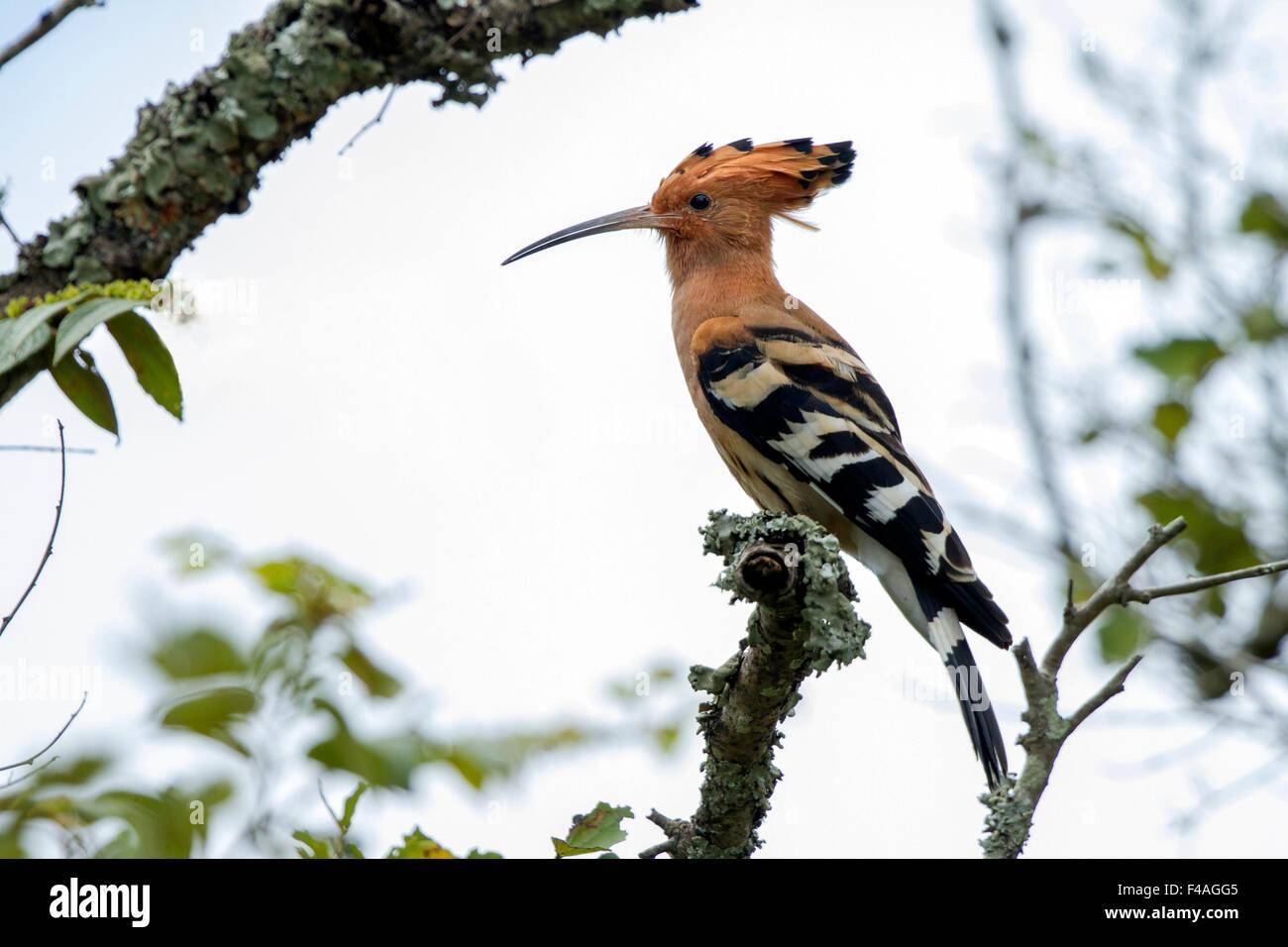 Bemerkenswert Mein Minigartchen ~ Der wiedehopf upupa epops hudhud ist ein bunter vogel