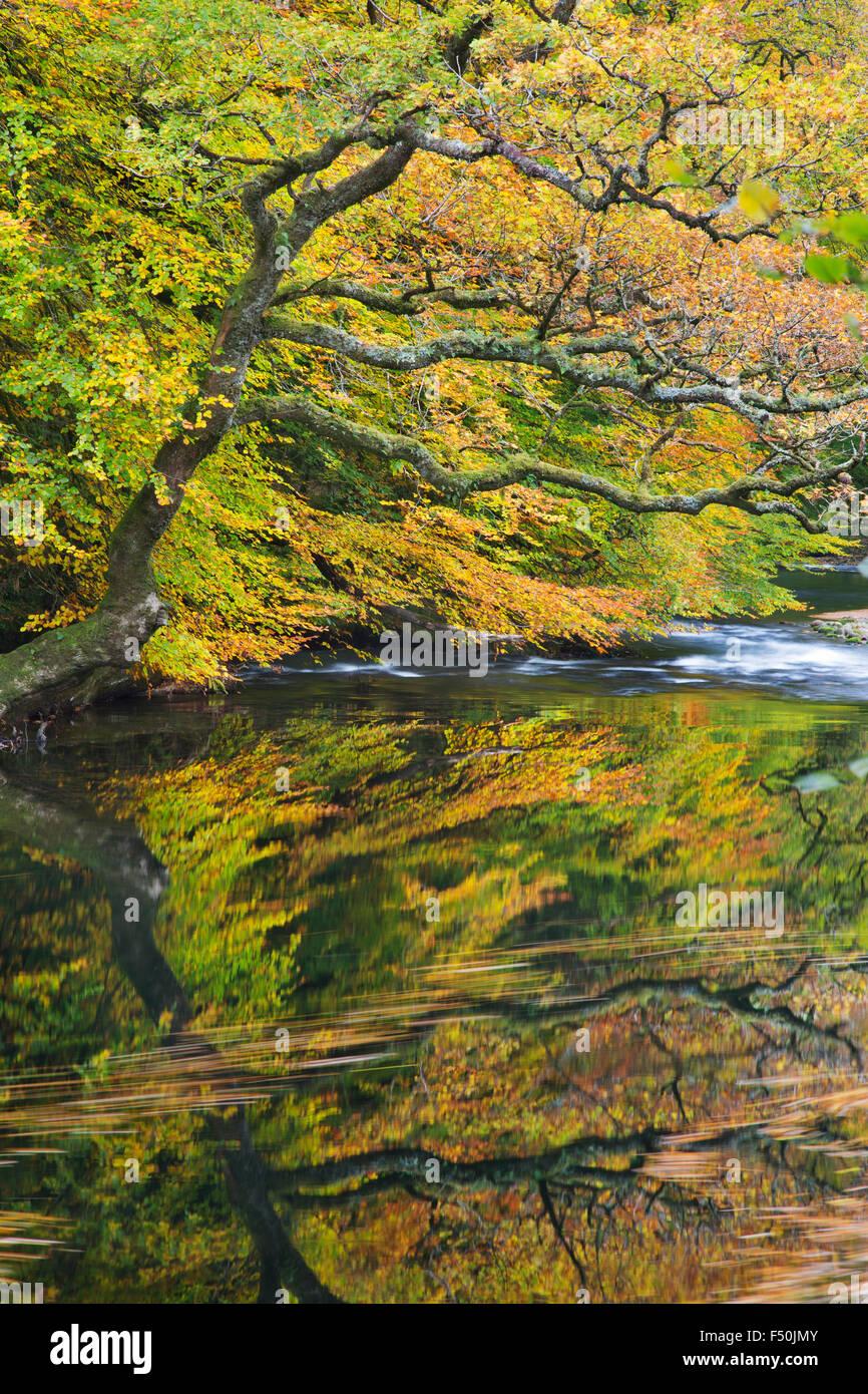 Der Fluss Dart in Hembury Wäldern, Devon, Vereinigtes Königreich Stockbild