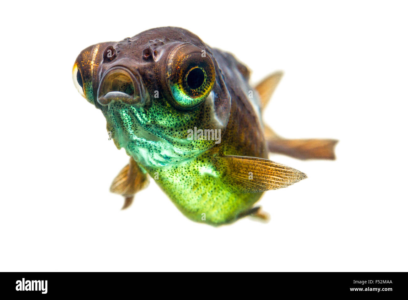 Telescope Goldfish Fry Stockbild