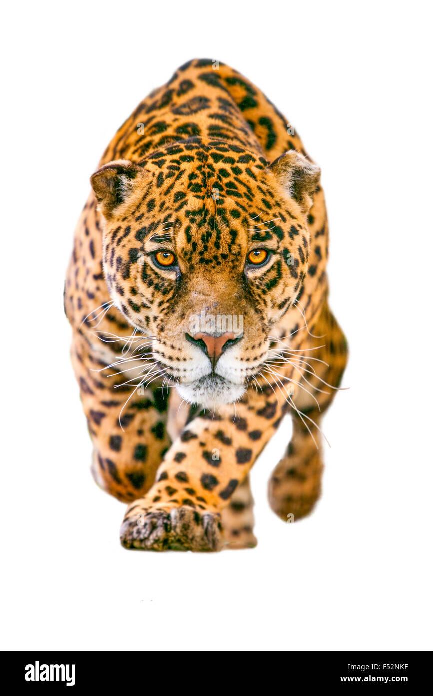 Wildes Jaguar Katze, Isolated On White Stockbild