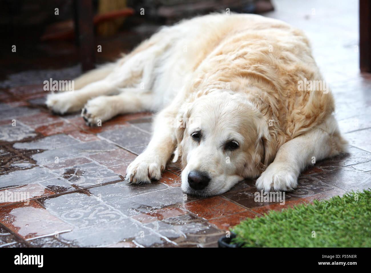 Trauriger großer Hund warten auf Rückkehr des Besitzers. Stockbild