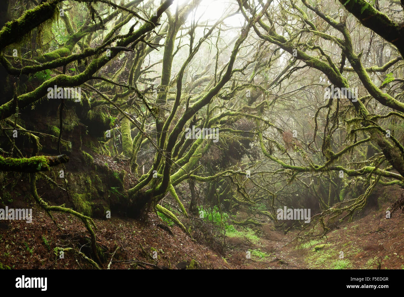 Lorbeerwald im Nebel, El Hierro, Kanarische Inseln, Spanien, Europa Stockfoto