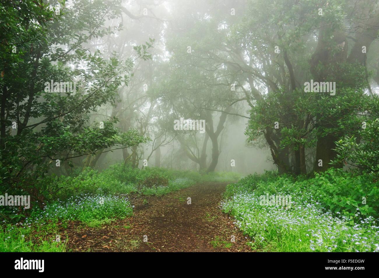 Lorbeerwald im Nebel, El Hierro, Kanarische Inseln, Spanien, Europa Stockbild