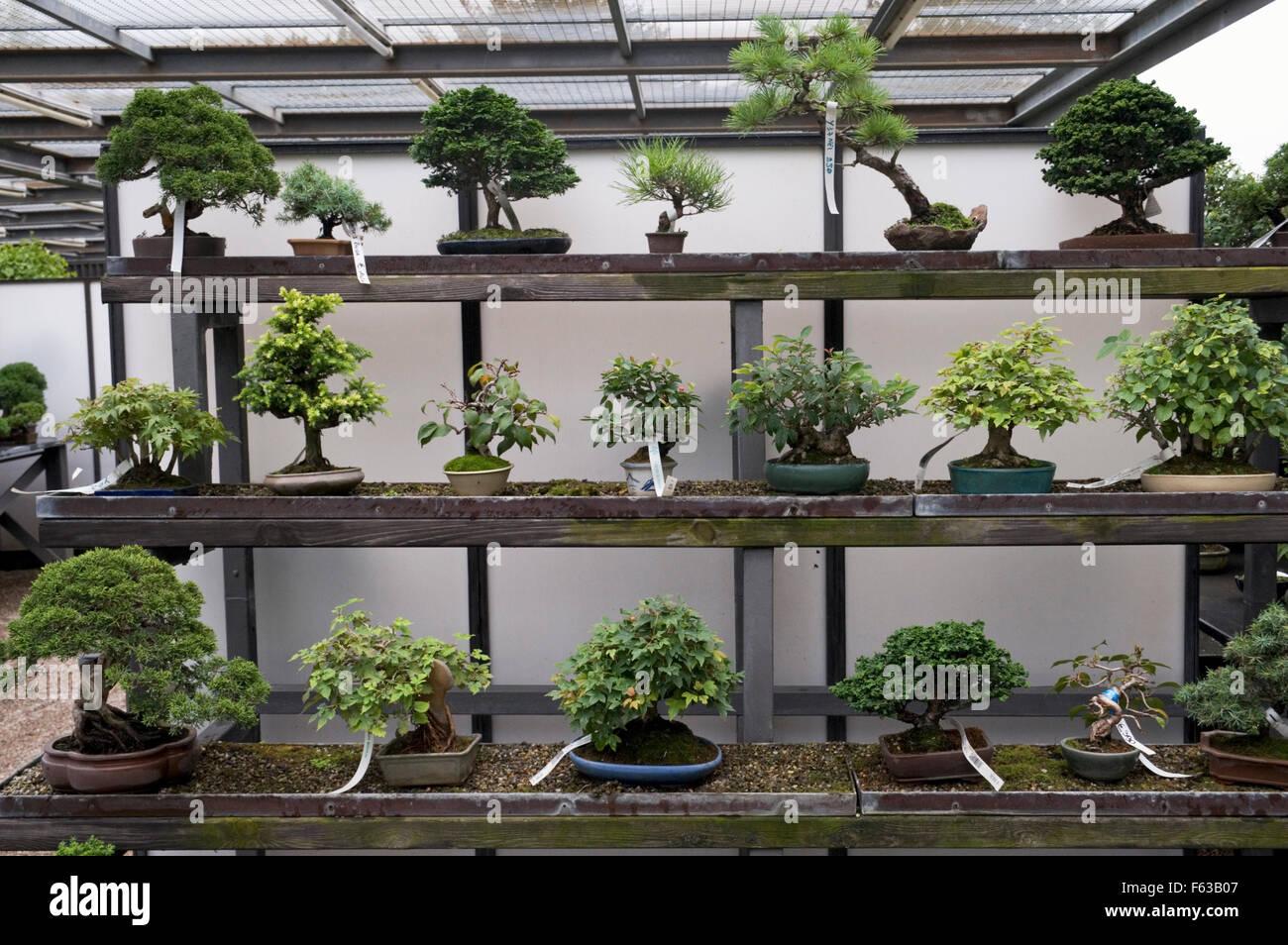 bonsai display stockfotos bonsai display bilder alamy. Black Bedroom Furniture Sets. Home Design Ideas