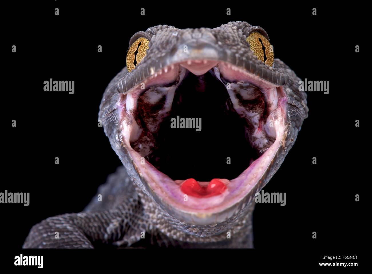 Banana (Gekko Gecko) Stockbild