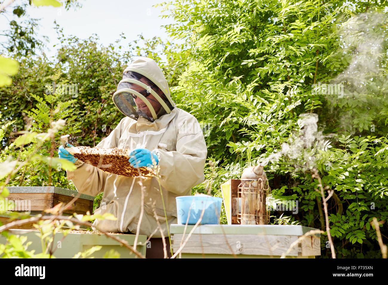 Ein Imker in einem Imkerei-Anzug mit Gesicht-Schutz überprüfen und seine Bienenstöcke öffnen. Stockbild