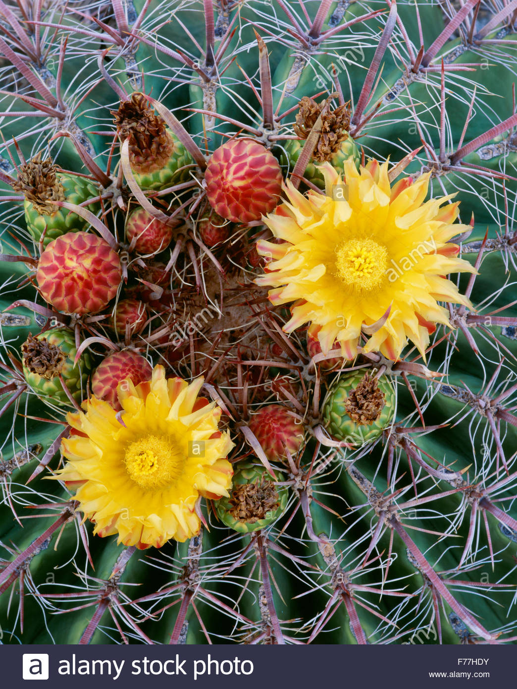 Angelhaken Barrel Cactus [Ferocactus Wislizenii] Saguaro-Nationalpark. Arizona. Stockbild