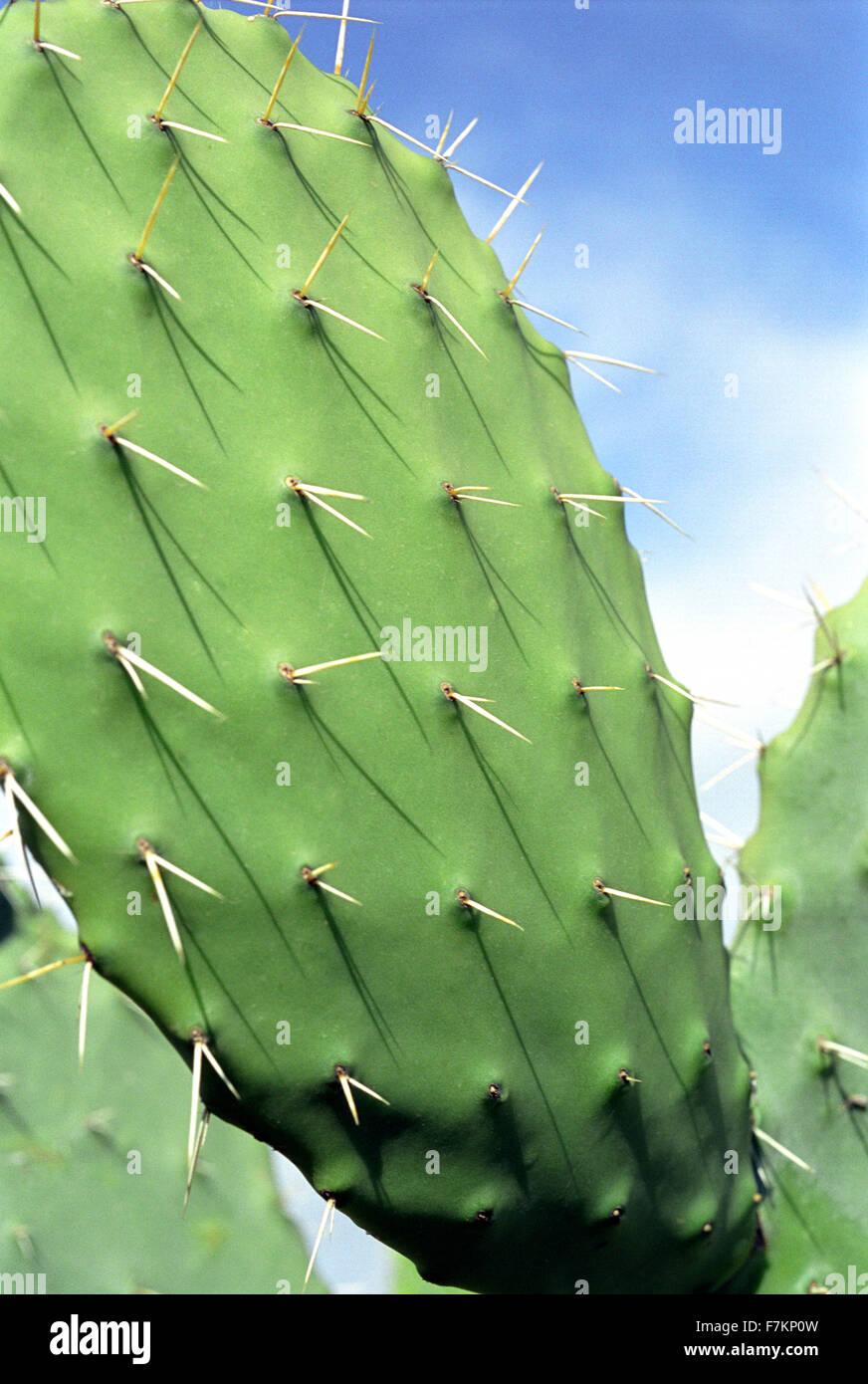 Kaktus Nahaufnahme. Tunesien Stockbild