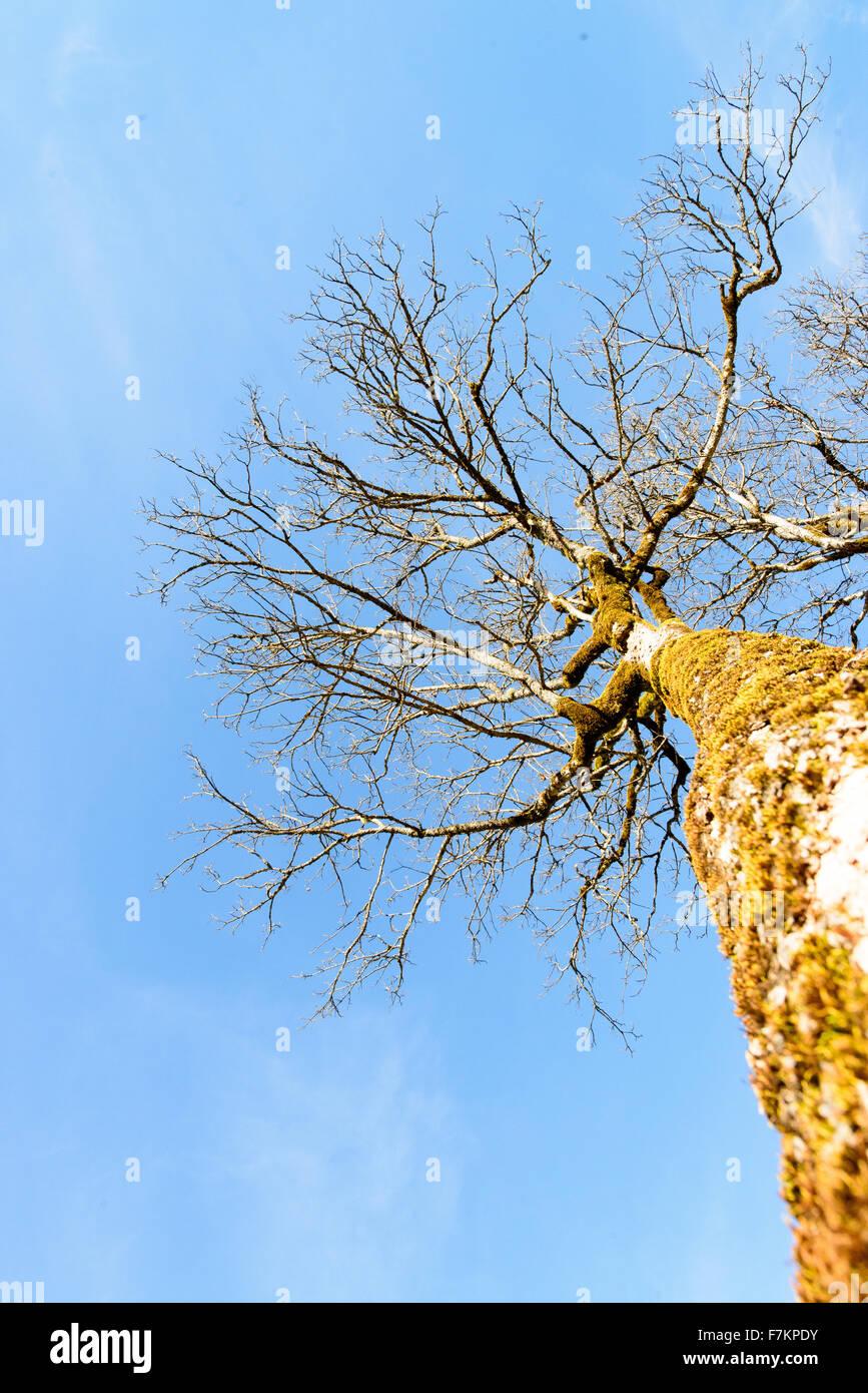 Acer im Winter ohne Laub Stockbild