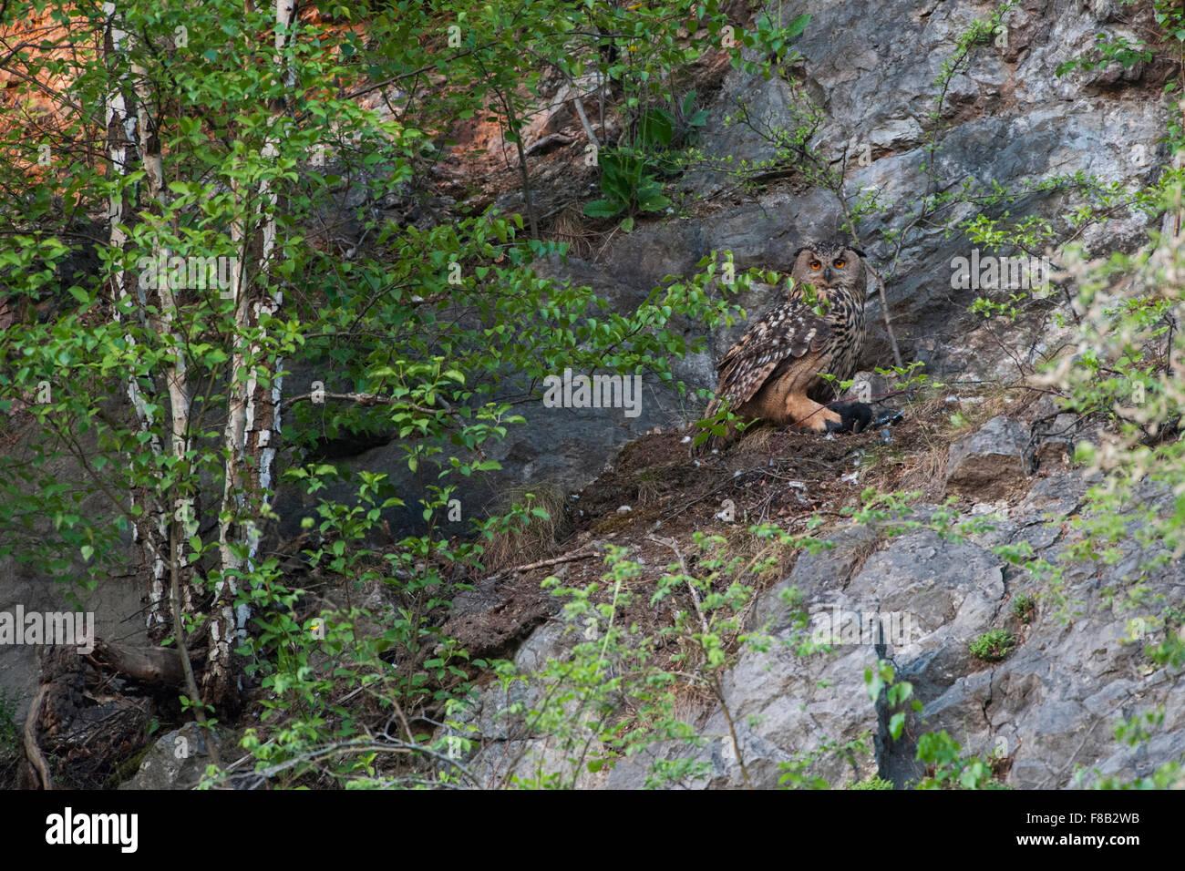 Eurasische nördlichen Uhu / Europaeischer Uhu (Bubo Bubo) versteckt sich unter Büschen in einem alten Stockbild