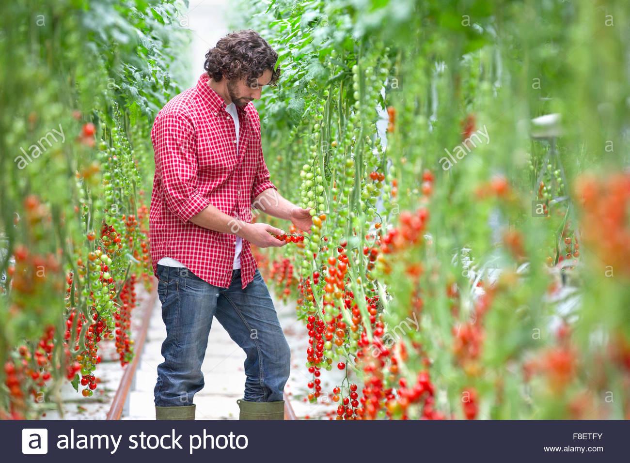 Arbeiter, die Inspektion Rebe Tomatenpflanzen im Gewächshaus Stockbild