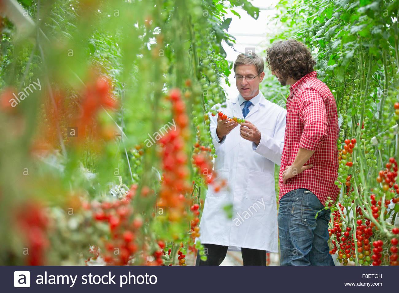 Ernährungswissenschaftler und Züchter Inspektion an Rebstöcken im Gewächshaus reife Tomaten Stockbild