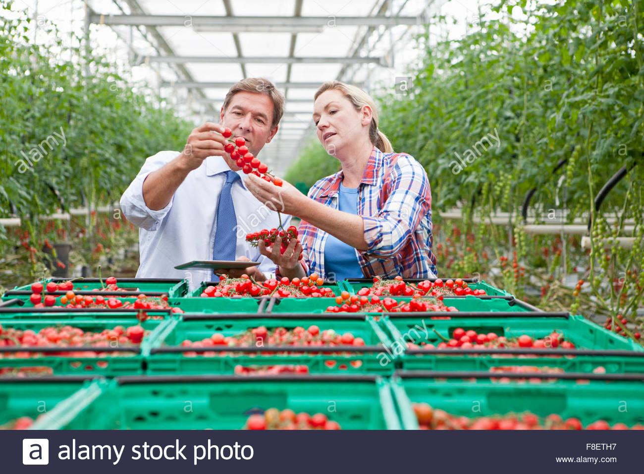 Geschäftsmann und Züchter Inspektion Reifen Rotwein Tomaten im Gewächshaus Stockbild