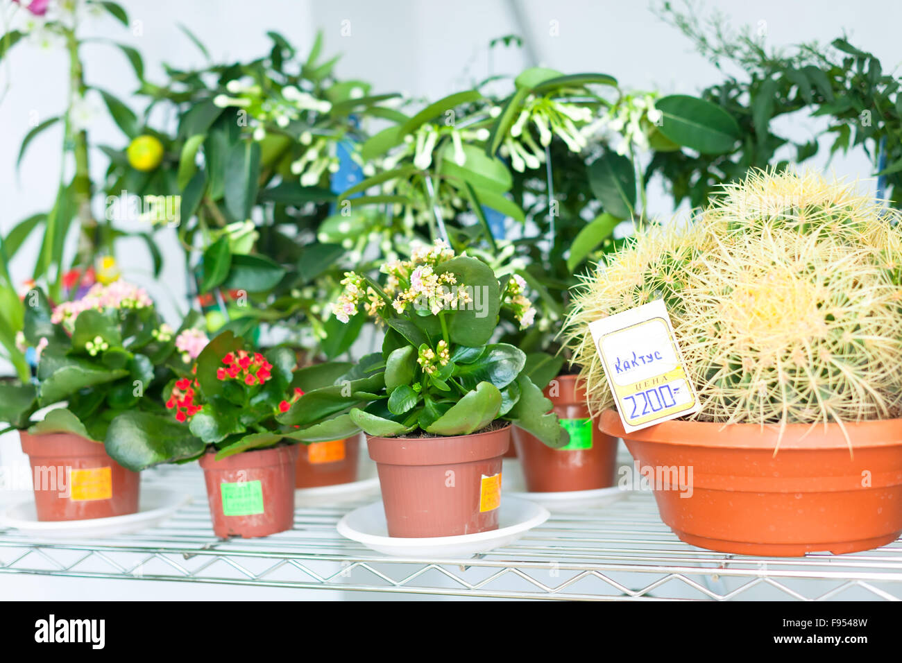 kalanchoe cactus stockfotos kalanchoe cactus bilder alamy. Black Bedroom Furniture Sets. Home Design Ideas