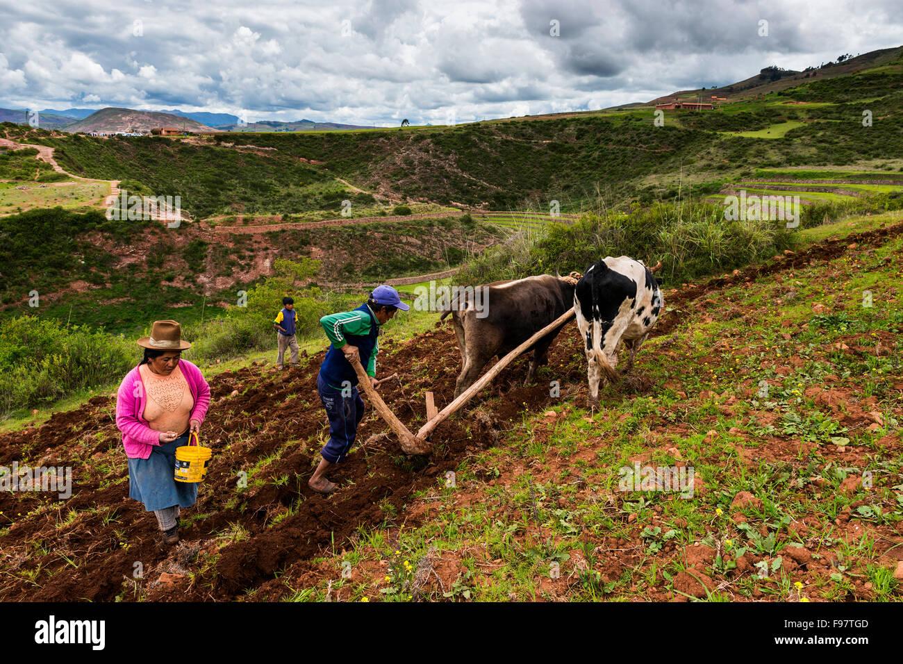Maras, Peru - 23. Dezember 2013: Einer peruanischen Familie Pflügen das Land in der Nähe von Moray Inca Stockbild
