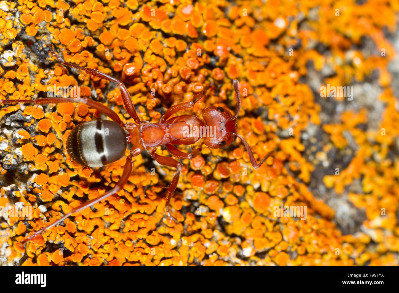 ant workers stockfotos ant workers bilder alamy. Black Bedroom Furniture Sets. Home Design Ideas