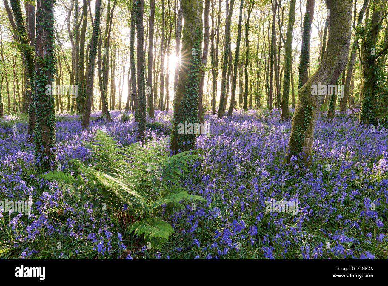 Sonnenlicht scheint zwischen den Bäumen und Leuchten die Glockenblumen auf dem Waldboden. Stockbild