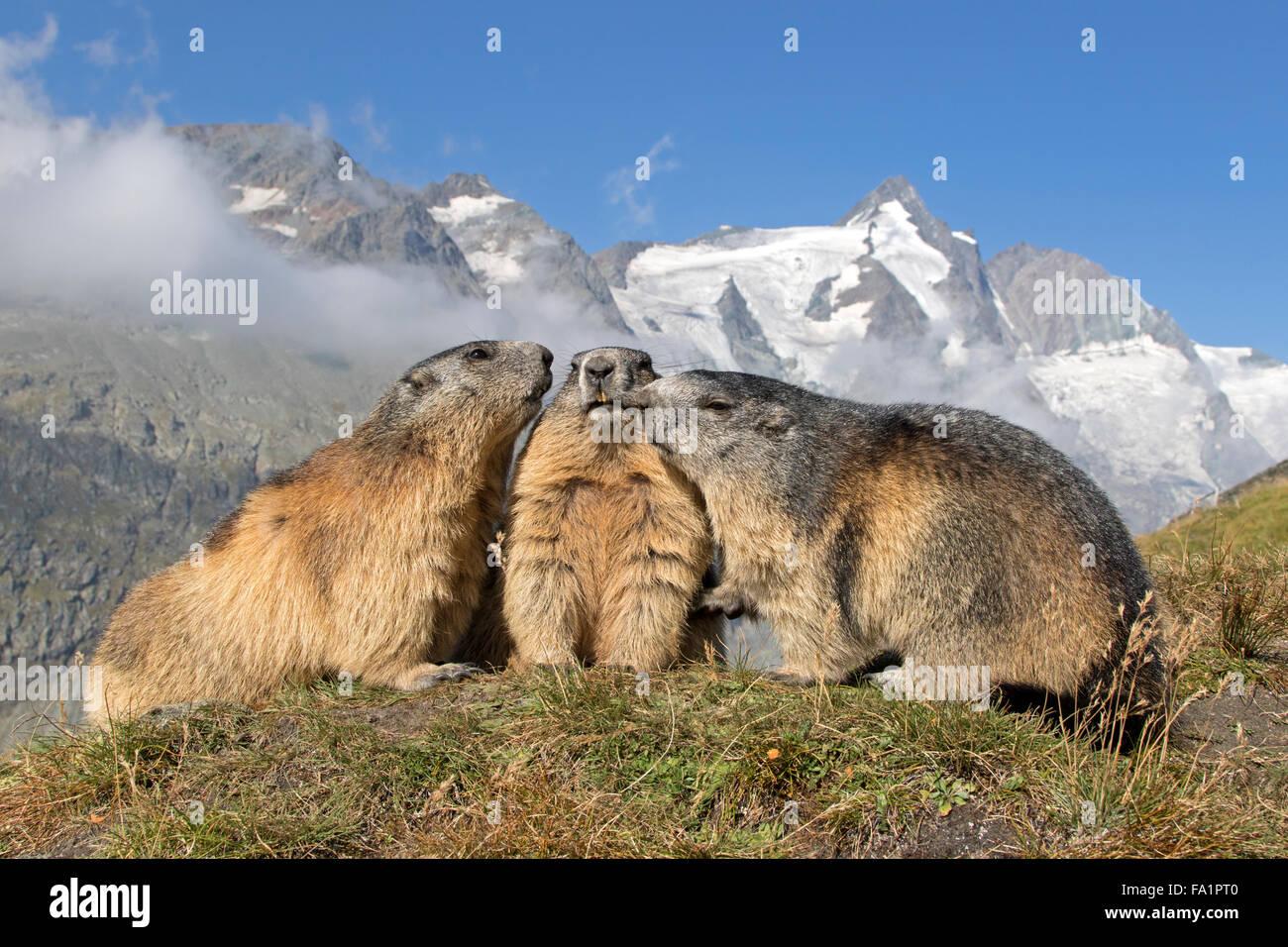 Alpine Marmot vor Großglockner, Nationalpark Hohe Tauern, Kärnten, Austria, Europe / Marmota Marmota Stockbild