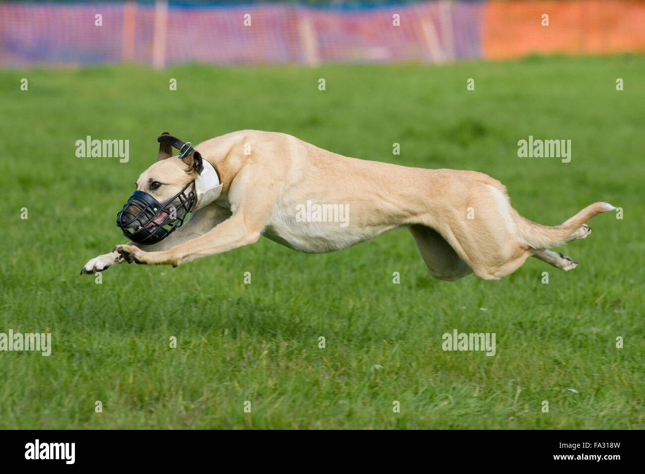 Lurcher racing Stockbild