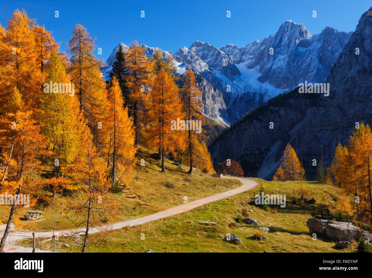 Bunte Kiefern im Herbst. Julischen Alpen in Slowenien Stockbild