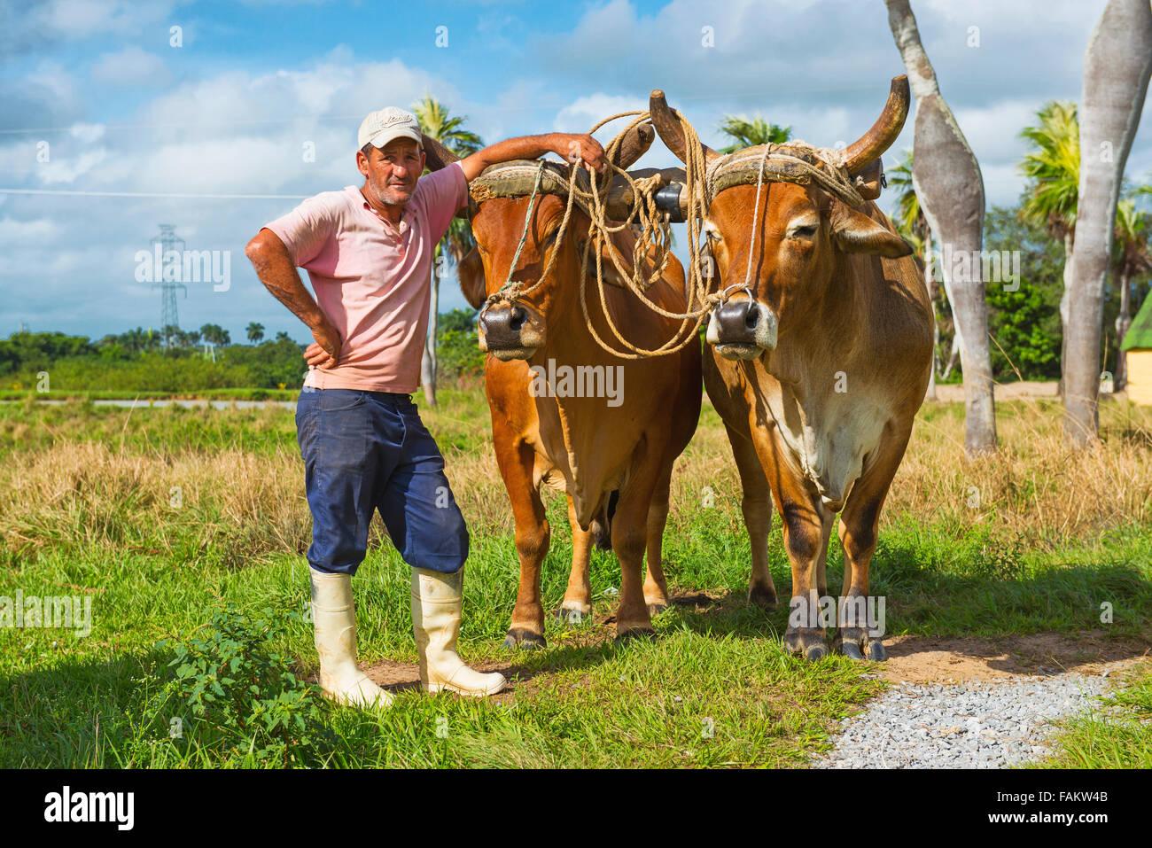 Kubanische Bauer mit Ochsen, Ochsen, Vinales Tal, Pinar Del Rio Kuba Stockbild