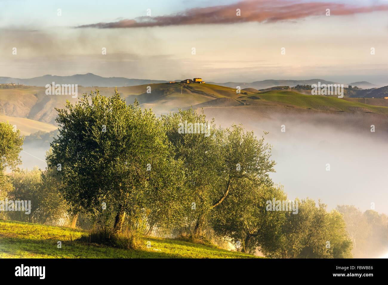 Olivenbäume in den Hügeln der Toskana. In der Nähe von Asciano, Crete Senesi Zone, Italien Stockbild