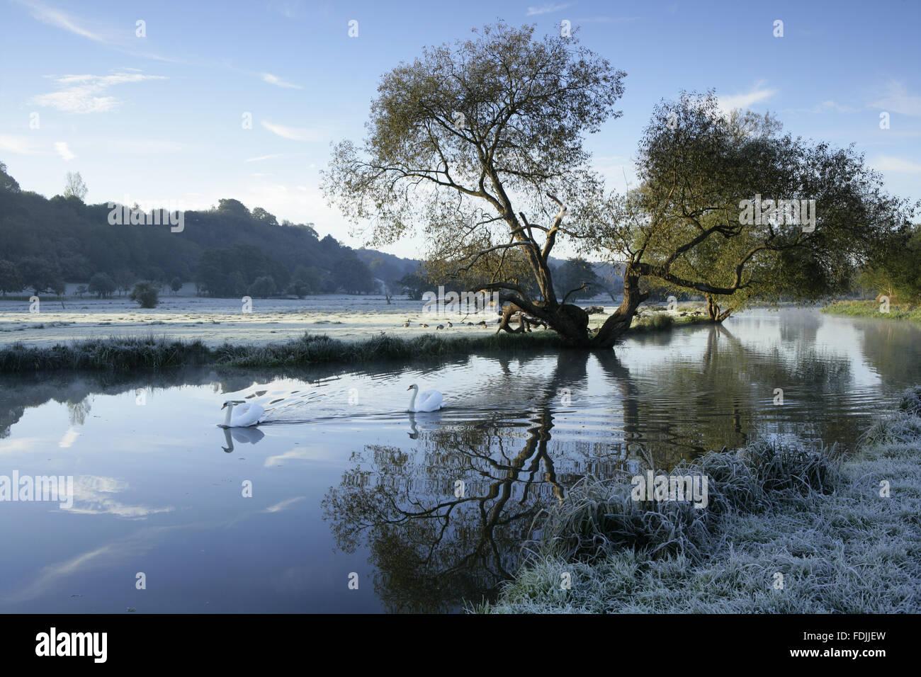 Einen frostigen Winter-Szene mit Schwäne gleiten auf dem Wasser in den Fluss Wey Navigationen, Surrey. Stockbild