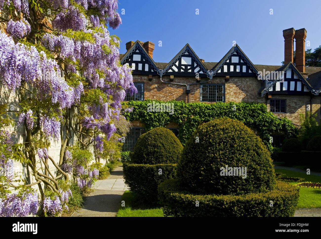 Formschnitt und Glyzinien im Hof im Mai um Baddesley Clinton, Warwickshire. Stockbild