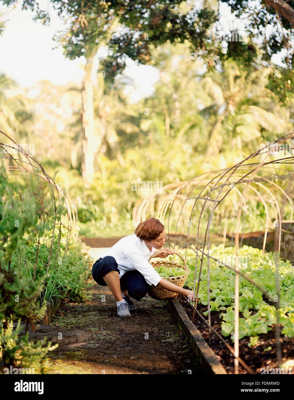 Amerikanische Raw Food Chef Karen Parker nimmt frischen Salat aus dem Garten auf der Farm in San Benito, Philippinen. Stockbild