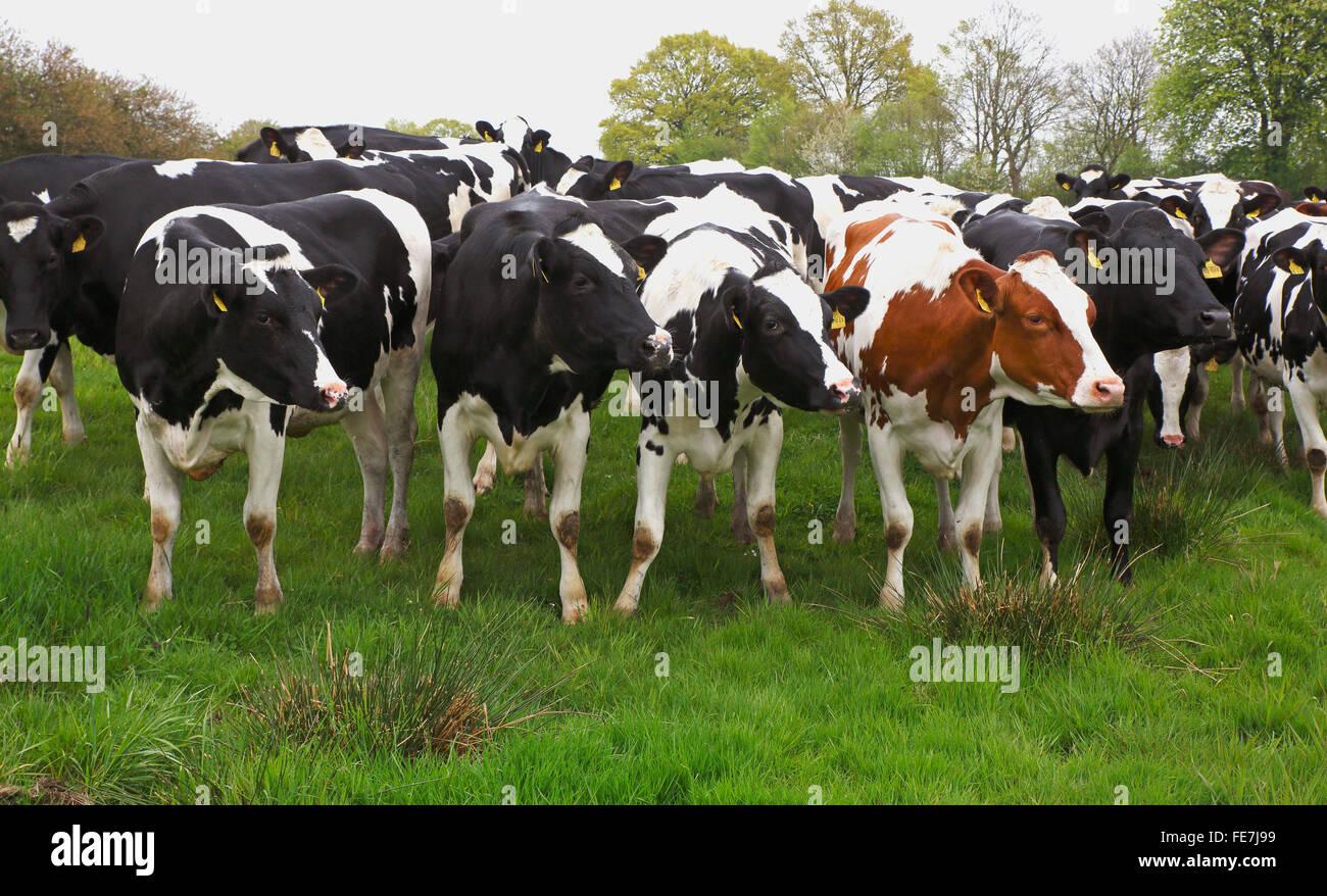 Neugierig und schwarz und Red Holstein Kühe (Bos Primigenius f. Taurus), Mecklenburg-Western Pomerania, Deutschland Stockbild
