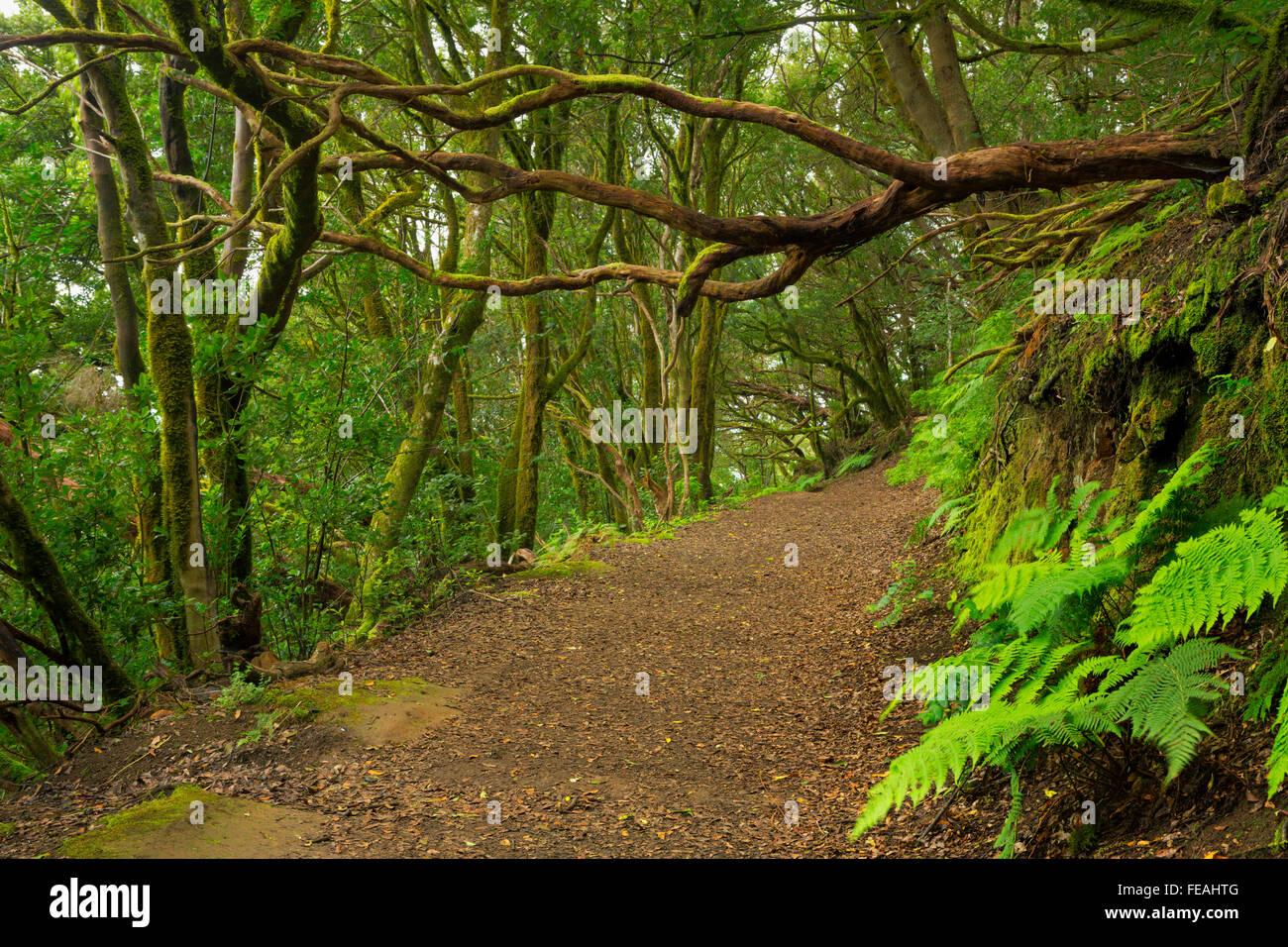 Laurel Wald in das Anaga-Gebirge auf Teneriffa, Kanarische Inseln, Spanien. Stockfoto