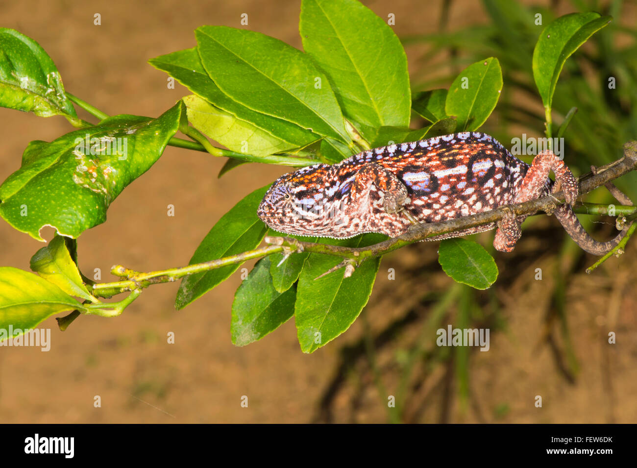 Weibliche Teppich Chamäleon (Furcifer Lateralis), Madagaskar Stockbild