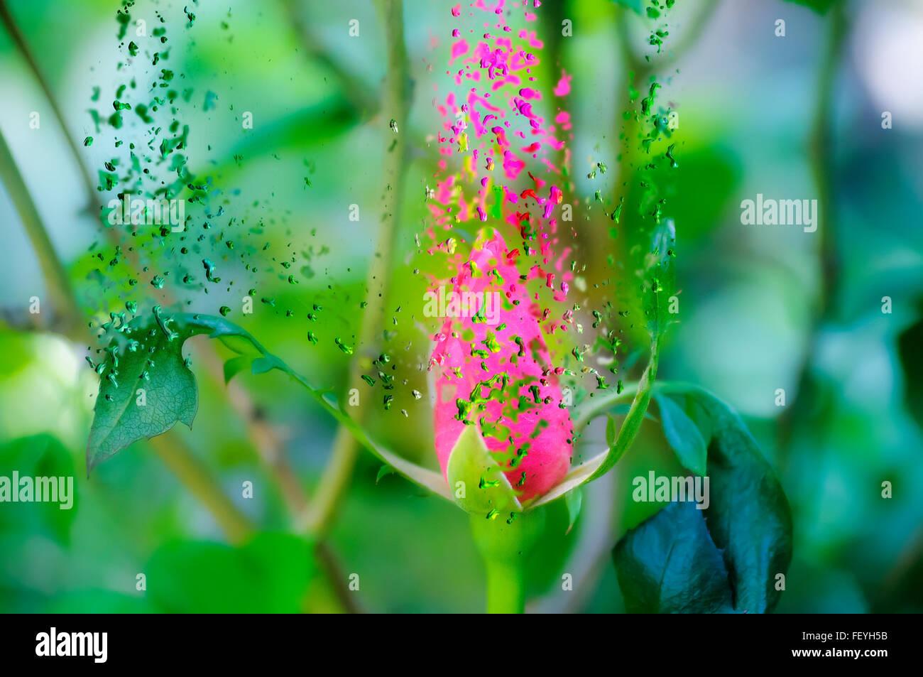 Digital manipuliert, explodierende rote Rose Knospe Stockbild