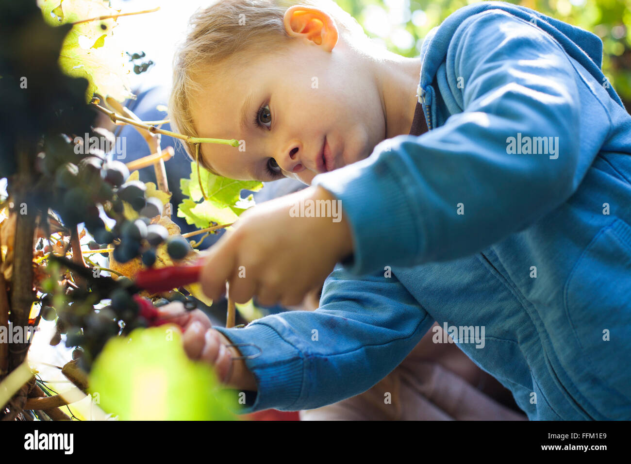 Vater und Sohn, die Ernte der Trauben im Weinberg Stockbild