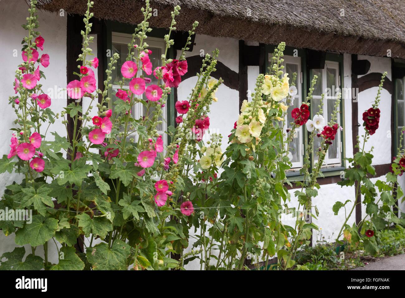 Stockrosen vor traditionelle schwedische strohgedeckten Hütte, Arild, Kulla-Halbinsel, Skåne, Südschweden, Stockbild