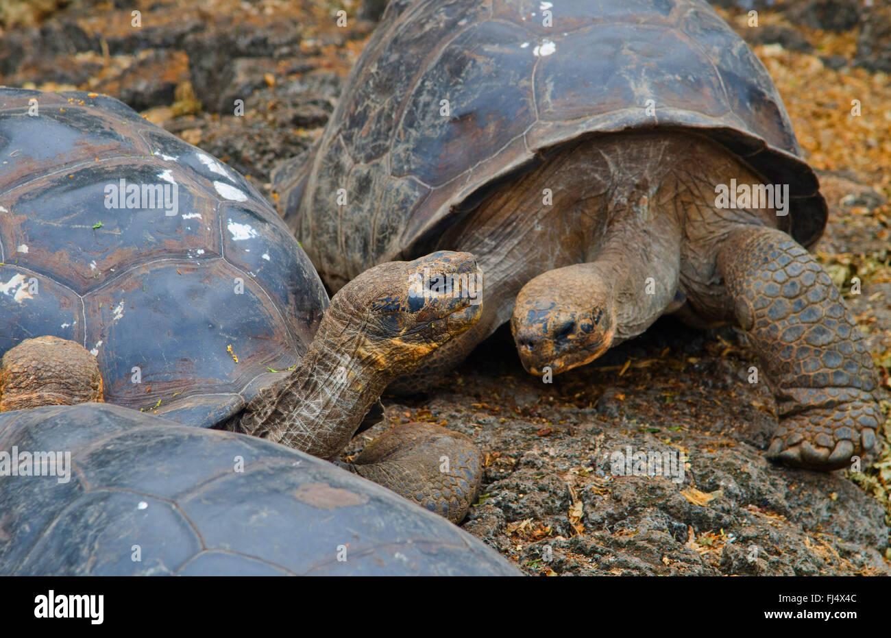 Galapagos-Schildkröte, Galapagos-Riesenschildkröte (Porteri) (Chelonodis Nigra Porteri, Geochelone Elephantopus Stockbild