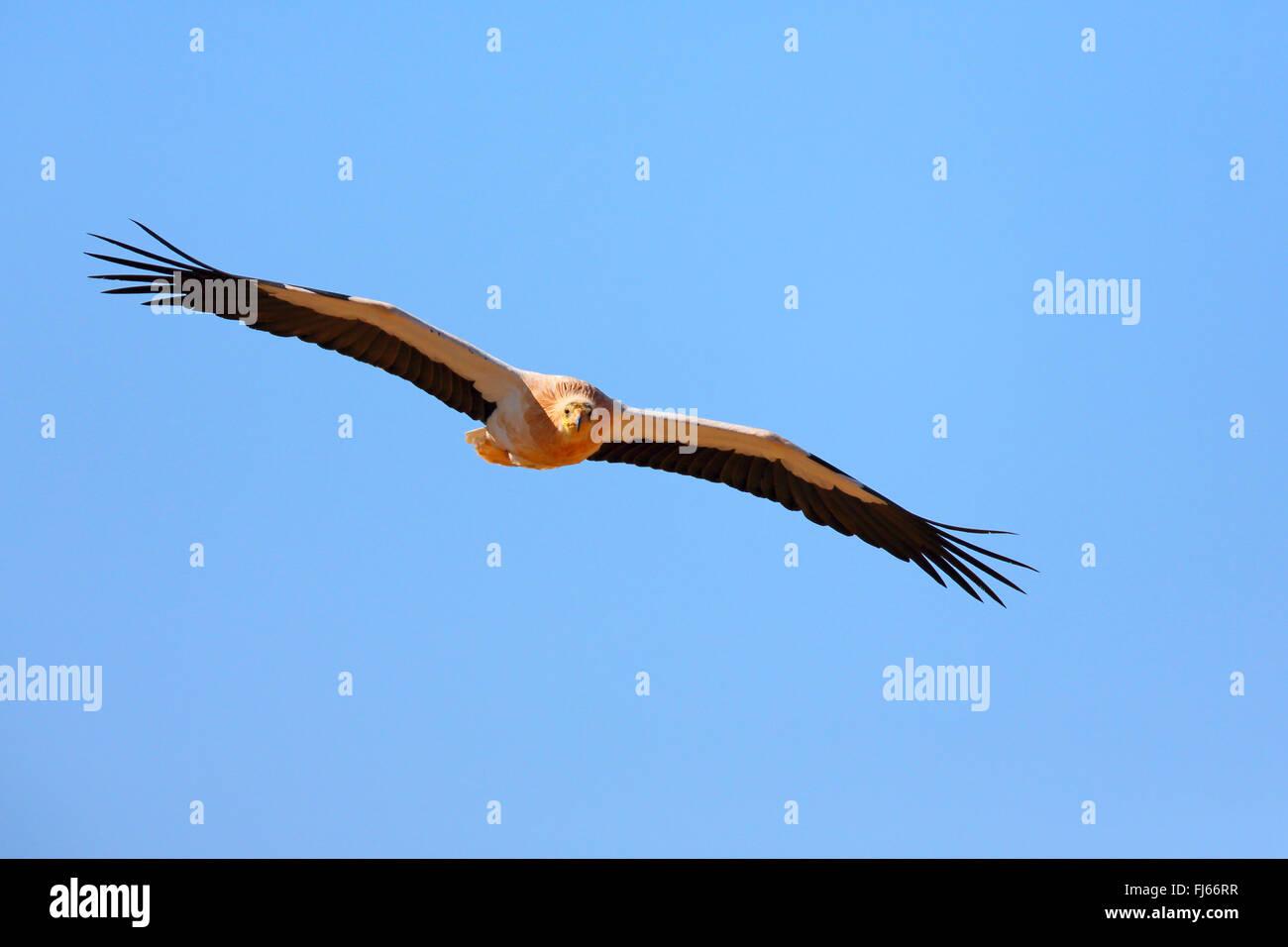 Schmutzgeier (Neophron Percnopterus), im Flug, Kanaren, Fuerteventura Stockfoto